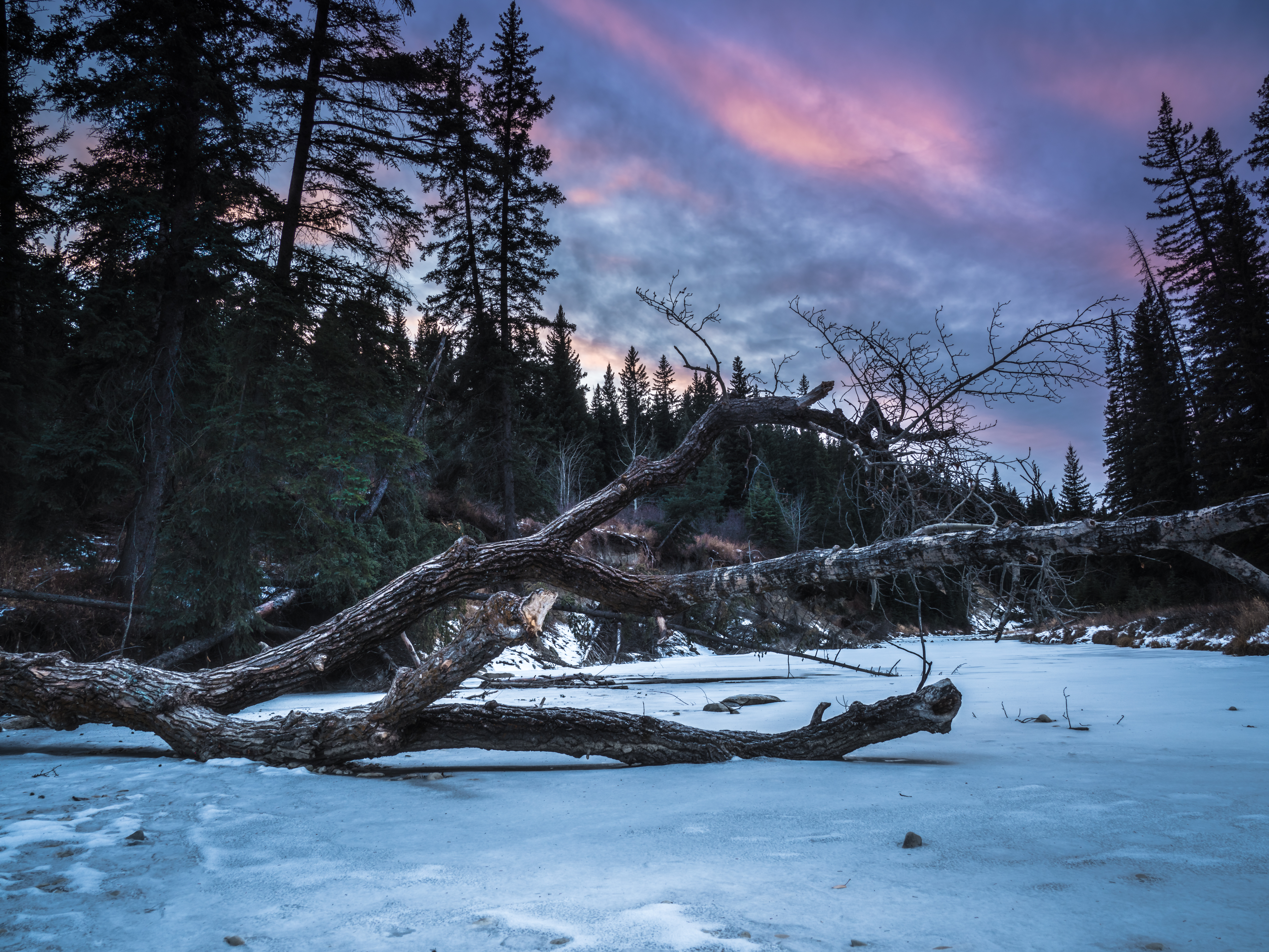 The remnants of a fallen tree lay over Fish Creek, Alberta, Canada