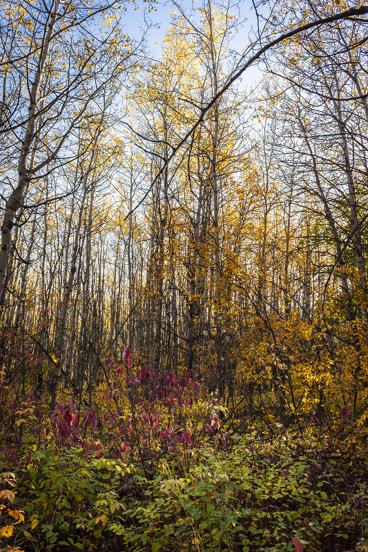 The leaves change color as autumn takes hold at South Glenmore Park, Calgary, Alberta, Canada