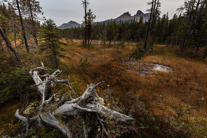 A dead stump on the trail leading up to Cirque Lake near Lake Louise in Alberta, Canada